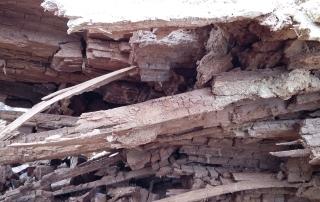 des fourmis charpentières ont attaquées la poutre