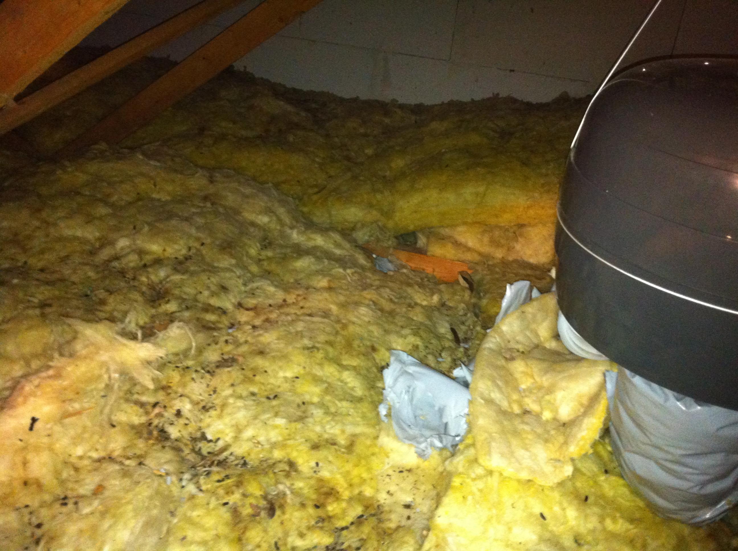 rats installés dans la laine de verre des combles d'une maison sur salon de provence