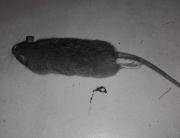 Des mulots et rats trouvé dans des combles et cloisons