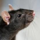 traitement rat et sousir dans une maison sur velaux 13880