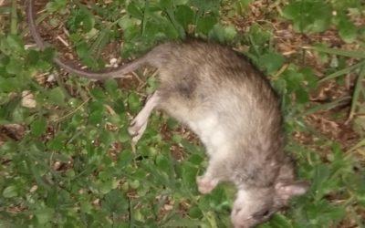Rats dans les combles à Salon de Provence