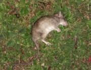 rat retrouvé mort dans mon jardin