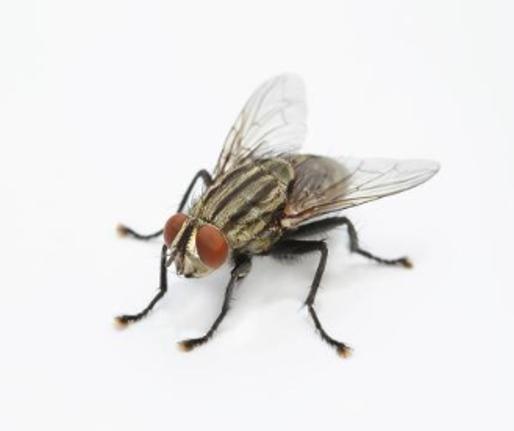 vue agrandie d'une mouches domestiques sur un plan de travail.