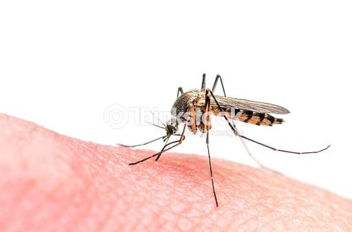 Désinsectisation de moustiques tigre.