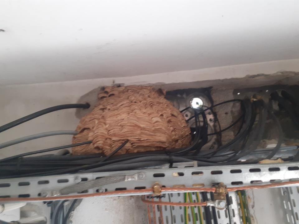 Formation d'un nid de frelons autour de câbles et gaines électrique.