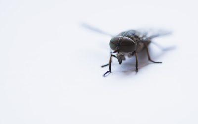 Où les mouches domestiques pondent-elles leurs oeufs ?