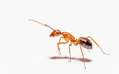 Astuces pour arrêter une invasion de fourmis